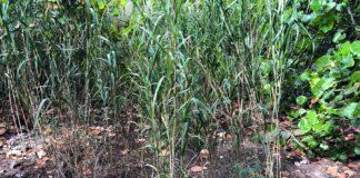 Wild-Bambo